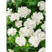 Petunia ´Double White Surfinia´® / Petunie plnokvětá bílá, bal. 6 ks sadbovač.