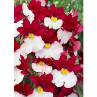 Nemesia ´Sunsatia® plus Cherry on Ice´  / Nemesia, bal. 6 ks sadbovačů