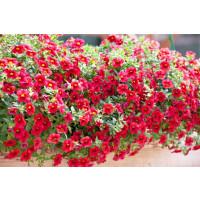 Calibrachoa ´Celebration® Granada Red´ / Mnohokvěté petunie, bal. 6 ks, 6x K7