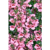 Diascia ´Elfjes® Rose XXL´ / Ostruhatka, bal. 6 ks sadbovačů