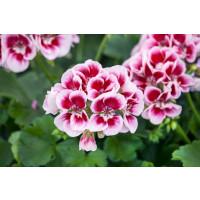 Pelargonium zonale ´pac®Flower Fairy® White Splash´ / Muškát kroužkovaný, bal. 6 ks sadbovačů