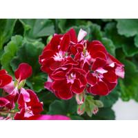 Pelargonium zonale ´pac®Spanish Wine® Burgundy´ / Muškát kroužkovaný, bal. 3 ks, 3x K7