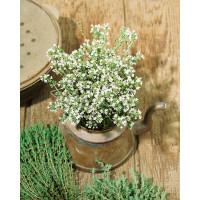 Thymus vulgaris ´Compactus´ / Mateřídouška obecná, K9