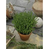 Thymus vulgaris / Mateřídouška obecná, K9