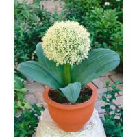 Allium Karataviense / Česnek karatavský, bal. 3 ks, 12+
