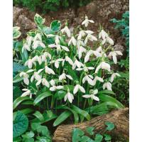 Galanthus woronowii / Sněženky, bal. 10 ks, 5/+