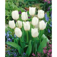 Tulipa ´Wildhof´ / Tulipán, bal. 5 ks, 11/12