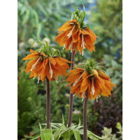 Fritillaria imperialis ´Aurora´ / Řebčík královský oranžový, 24/+