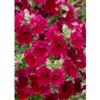 Nemesia x hybrida Lyric® Cherry  / Nemesia, K7