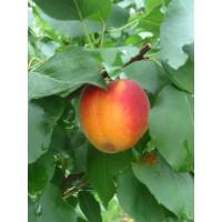 Prunus armeniaca ´Bhart ´ (Orangered) / Meruňka středně raná, myr.