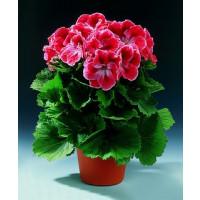Pelargonium grandiflorum ´Mandarin´ / Pelargonie velkokvětá červená, bal. 3 ks, 3x K7