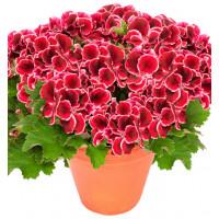 Pelargonium grandiflorum ´pac®Aristo® Red Beauty´ / Muškát velkokvětý, bal. 6 ks sadbovačů