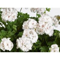 Pelargonium pelt. ´pac®White Pearl´ / Muškát, bal. 6 ks sadbovačů