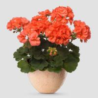 Pelargonium zonale ´pac®Stefanie´ / Muškát kroužkovaný, bal. 6 ks sadbovačů