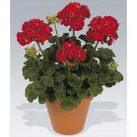 Pelargonium zonale ´pac®Victor´ / Muškát kroužkovaný, K7