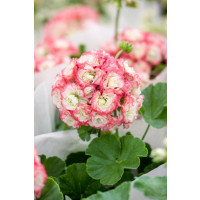 Pelargonium zonale Grandeur®DECO ´Appleblossom´ / Pelargonie růžičková, bal. 6 ks sadbovačů