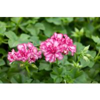 Pelargonium pelt. ´Mexica Amy´ / Muškát převislý, bal. 3 ks, 3x K7