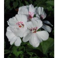 Pelargonium pelt. ´Blanche Roche´ / Muškát převislý, bal. 3 ks, 3xK7