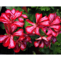 Pelargonium pelt. PAC® ´Global Stars and Stripes´ / Muškát převislý, bal. 6 ks sadbovačů