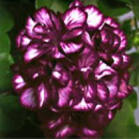 Pelargonium pelt. PAC® ´Mexica Tomcat´ / Muškát, bal. 6 ks, 6x K7