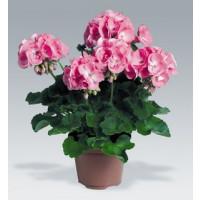 Pelargonium zonale ´Candy Rose´ / Pelargonie páskatá růžová, bal. 3 ks, 3x K7