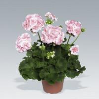 Pelargonium zonale ´Salmon Princess´ / Pelargonie páskatá růžová, K7