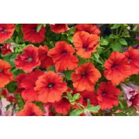 Petunia ´Trailing Red´ / Petunie červená jednoduchá, K7