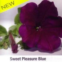 Petunia ´Sunpleasure Blue´® / Petúnie modrofialová, bal. 6 ks sadbovačů