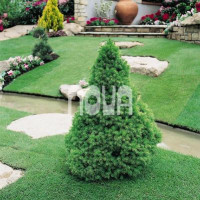 Picea glauca ´Conica´ / Smrk sivý kuželovitý, 30-40 cm, C2