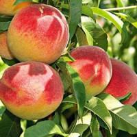 Prunus persica ´Redhaven´ / Broskvoň raná, GF677