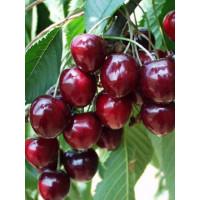 Prunus avium ´Karešova´ / Třešeň, Gisela 5