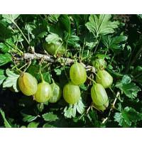 Ribes grossularia ´Prima´ / Angrešt rezistentní, roubovaný keř, VK, 2-3 výh.
