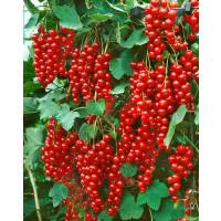 Ribes rubrum ´Stanza´ / Rybíz červený, keř, 4-5 výh., VK