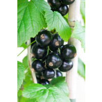 Ribes nigra ´Bona´ / Rybíz černý, stromek, 4-5 výh.