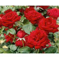 Rosa ´Bergmann´ / Růže čajohybrid, keř, BK