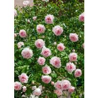 Rosa ´Clg. Parade´ / Růže popínavá, keř, BK
