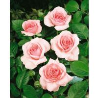 Rosa ´Promise´ / Růže čajohybrid, keř, BK