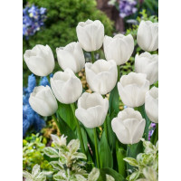 Tulipa ´Royal Virgin´ / Tulipán, bal. 5 ks, 11/12
