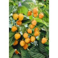 Rubus idaeus ´Golden Everest´ / Malina žlutá, K11