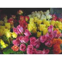 Rosa mix / Kolekce ušlechtilých růží, bal. 3 keříků, 3xBK