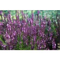 Salvia superba ´Rose Queen´ / Šalvěj nádherná, K9