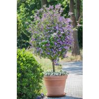 Solanum rantonnetii / Enciánový stromeček, K9