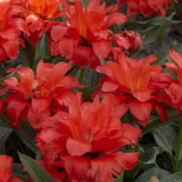 Tulipa ´Double Red Riding Hood´ / Tulipán ´Dvojitá Červená Karkulka´, bal. 5 ks, 11/12