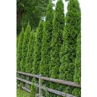 Thuja occidentalis ´Smaragd´ / Zerav smaragdový, 20-30 cm, K9 - AKCE