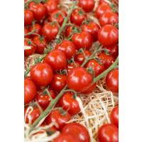 Rajče cherry ´Sanvitos® F1´, přirozeně rezistentní, roubovaná rostlina, K12