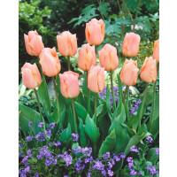 Tulipa ´Apricot Beauty´ / Tulipán, bal. 5 ks, 11/12