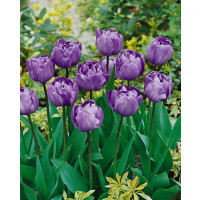 Tulipa ´Blue Diamond´ / Tulipán, bal. 5 ks, 11/12