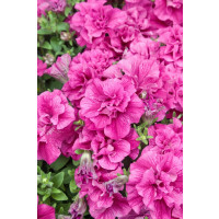 Petunia x atkinsiana ´Tumbelina® Francesca´ / Petunie plnokvětá růžová, bal. 6 ks sadbovačů