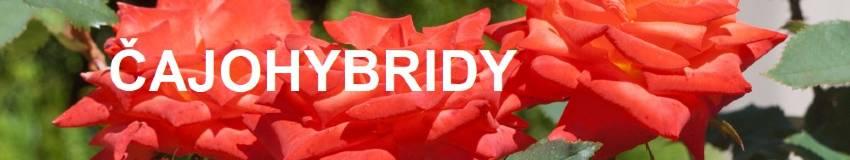 Čajohybridní růže