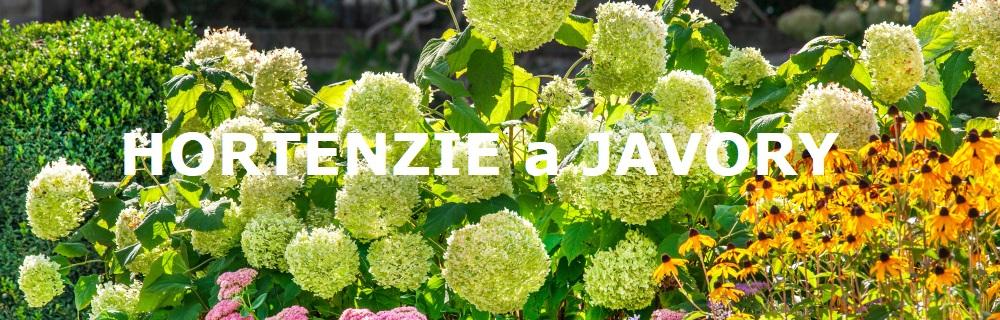 Hortenzie a javory